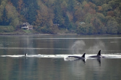 Puget Sound Resident Orcas.