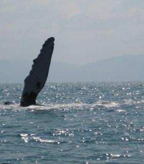 Humpback whales in the bay of Banderas near Puerto Vallarta, Mexico