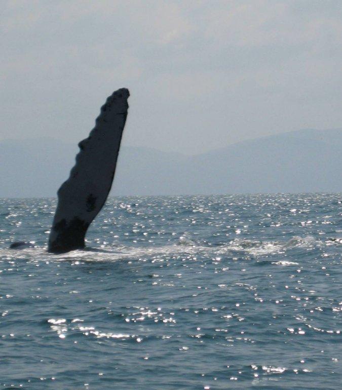 Humpback whales in the bay of Banderas near Puerto Vallarta, Mexico